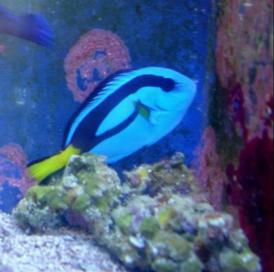 Blue tang sm md for Blue tang fish price